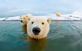 free polar bear wallpapers 8w63g7b