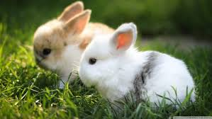 rabbits wallpapers hd desktop and