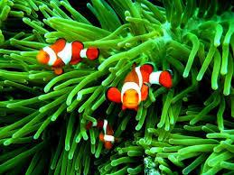 clown fish iphone 8 wallpaper idrop