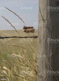 Vertical Fence Post With Barb Wire Grass And Cows Stock Photo Download Image Now Istock