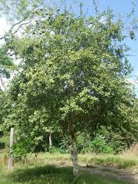 how to grow bael tree in india bael