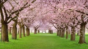 4k hd wallpaper blossom park pink