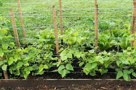 8 Climbing Vegetables Urban Garden Gal