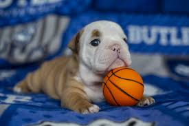 Butler Blue IV, next live mascot for Butler, revealed, ready to report to  work   Butler Stories