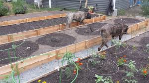 Fence Picket Raised Beds And How They Have Held Up