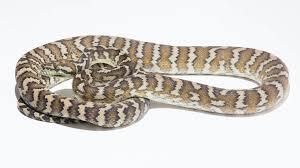 darwin carpet python morelia spilota