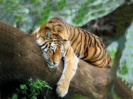 صور نمر خلفيات نمور Photos Tigers
