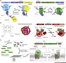Genetically Encodable Fluorescent and Bioluminescent Biosensors Light Up  Signaling Networks: Trends in Biochemical Sciences