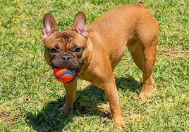 French Bulldog playing with ball for reinforcement of training.