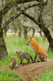 red fox family there is a red fox