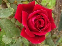 صور ورد طبيعي اجمل اشكال الزهور بالصور كلمات جميلة