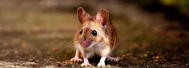 get rid of mice in the house