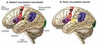 homúnculo sensorial y homúnculo motor