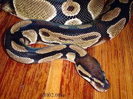 Candy | Ball python | Hillary Webb | Flickr