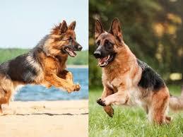 long haired german shepherd vs short