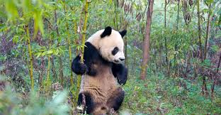 threat to giant pandas ...