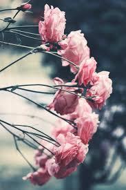 صور زهور ذابلة