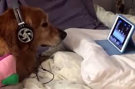 Assista a este cão de fones de ouvido vendo um vídeo de cachorro ...