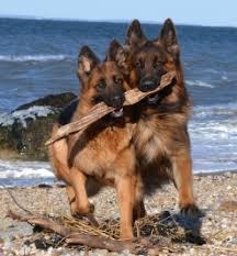 stormcloud long coated german shepherds