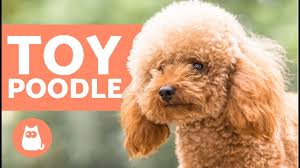 toy poodle characteristics character