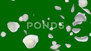 falling petals white flower green