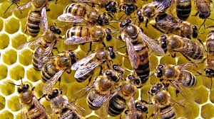 queen bees hymenopthera wallpapers hd