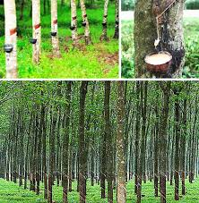 Rubber Trees For Latex Balloons In Bukidnon Philippines Cebu Balloons And Party Supplies