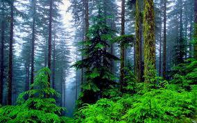 best nature wallpaper pine forest hd