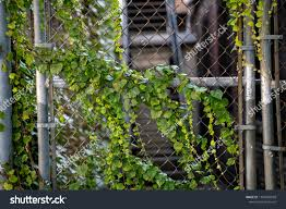 Green Vines On Chain Link Fence Stock Photo Edit Now 1194585598