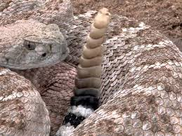 Listening For Rattles Living With New Mexico S Venomous Snakes