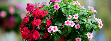 Ultimate Guide To Hanging Baskets Ambius