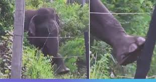 Video Elephant Skillfully Breaks Electric Fence To Avoid Shock