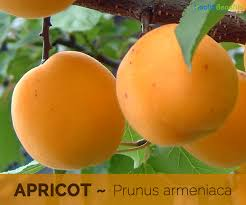 apricot facts health benefits and