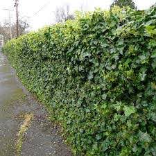 English Ivy On Chain Link Fence Green Ivy Is Completely Covering A Standard Chain Link Metal Fence Natural Fence Fence Landscaping Living Fence