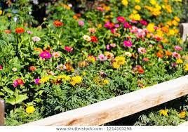 Beautiful Flowers Growing Along Wooden Fence Stock Photo Edit Now 1214103298