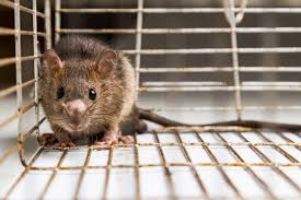 Seoul virus is carried by rats. Pet Rats Bring Seoul Virus To Illinois Kane County Connects