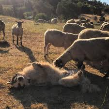 How Many Dogs Are Needed To Protect Livestock On Rangeland Uc Anr Knowledge Stream Anr Blogs