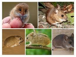 أنواع وأنواع الفئران وصفها والصورة