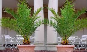 pair of giant phoenix canariensis