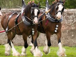 clydesdale horse breed profile