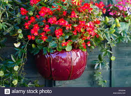 Red Begonia In A Ceramic Planter Hanging On Fencing Uk Stock Photo Alamy