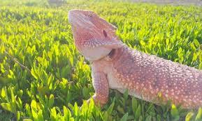 11 bearded dragon fun activities