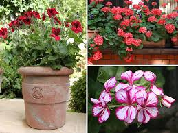 flowers in pots bedding geraniums
