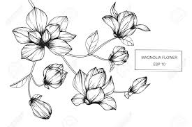 magnolia flowers drawing and sketch