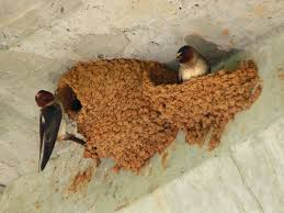 swallows invading your home how to