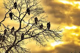 sunrise dead tree roost birds flock