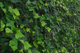 Ivy Green Leaves Plant - Free photo on Pixabay