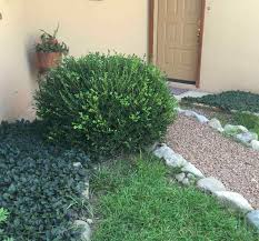 pruning boxwood shrubs plant addicts