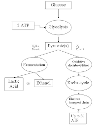 cellular respiration simple english