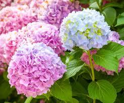 fakta arti dan makna bunga hydrangea kembang bokor
